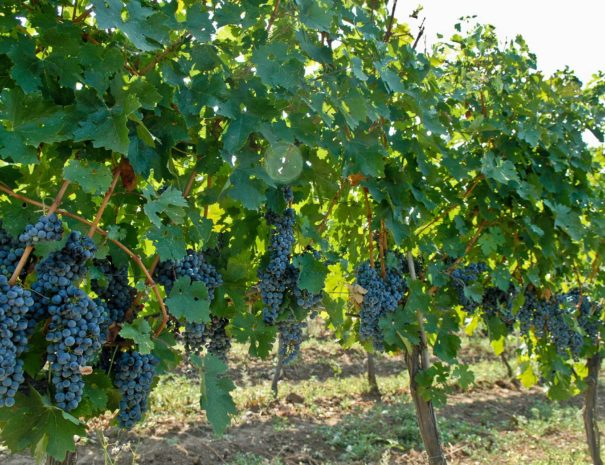 red-grapes-on-vine-2-reduced