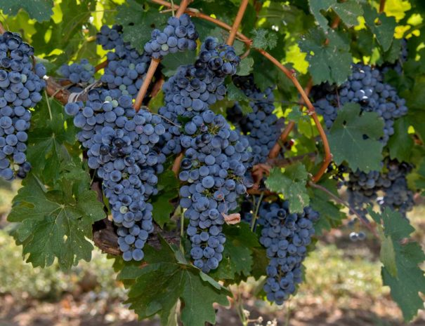 red-grapes-on-vine-reduced